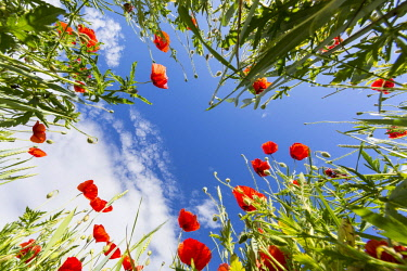IBXPUR04635464 Low-angle view from a field with flowering poppy (Papaver) and wheat (Triticum aestivum), Saxony, Germany, Europe