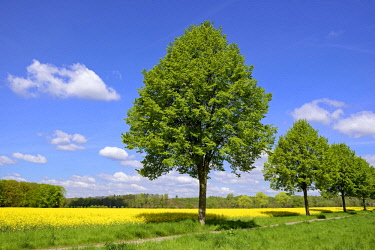 IBXRBA04633938 Linden tree (Tilia) at Rapefield (Brassica napus) with blue sky, Germany, Europe