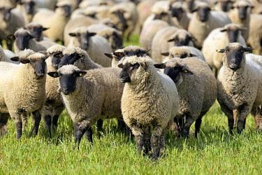 IBXRBA04639625 Domestic sheep (Ovis gmelini aries), herd on a pasture, North Rhine-Westphalia, Germany, Europe