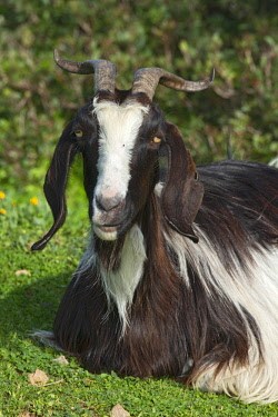 IBXREH04315702 Domestic goat, portrait, Sardinia, Italy, Europe