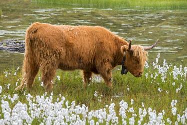 IBXREH04622565 Scottish Highland cattle on the alpine pasture, Scheidseen, Galtur, Tyrol, Austria, Europe
