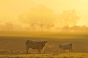 IBXRID03933674 Cow and calf on pasture at dawn, North Rhine-Westphalia, Germany, Europe
