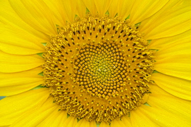 IBXRID04635176 Sunflower (Helianthus), sunflower field, North Rhine-Westphalia, Germany, Europe
