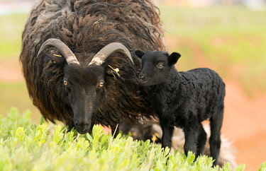 IBXRON04364526 Heidschnucke, moorland sheep (Ovis ammon f.aries) with lamb in meadow, Schleswig-Holstein, Heligoland, Germany, Europe