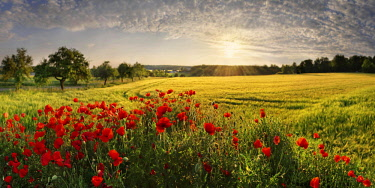 IBXRUM04619372 Corn poppies (Papaver rhoeas) in the barley field at sunset, Pietenfeld, Altmuhltal, Bavaria, Germany, Europe