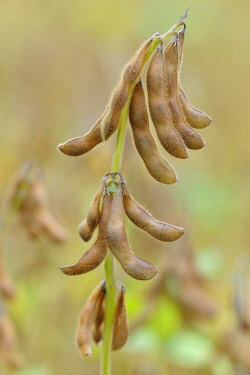 IBXTKE04561942 Soya beanplant (Glycine max) with ripe pods, Baden-Wurttemberg, Germany, Europe