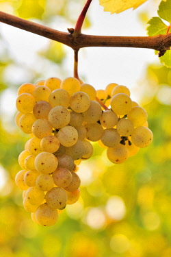 IBXTKE04584375 Riesling grapes, Baden-Wurttemberg, Germany, Europe