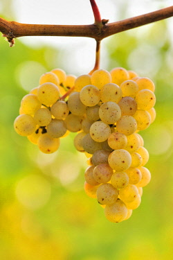 IBXTKE04584376 Riesling grapes, Baden-Wurttemberg, Germany, Europe