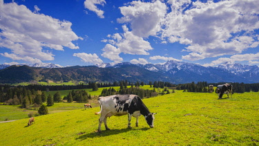 IBXWGA04606729 Cows grazing in front of mountain panorama, Ostallgau, Allgau, Bavaria, Germany, Europe