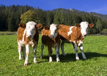 IBXWWE03871394 Pasture, calves, Alpbach valley, Alpbach, Tyrol, Austria, Europe