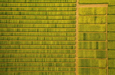 IBLBLO04533806 Rape field with divisions for test sowing, agriculture, agriculture field, agriculture test field, seed optimization, yellow rape field in green farmland, aerial photo, Soest, Soesterbode, North Rhine...