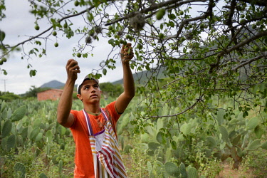 IBLFLK04122120 Teenager harvesting fruits of the Umbu tree (Spondias tuberosa), Caladinho, Uaua, Bahia, Brazil, South America
