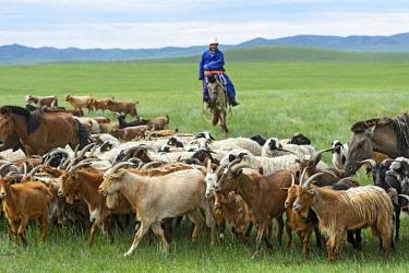 IBLGVA04299470 Mongolian nomad on horse, herding cashmere goats (Capra hircus laniger), Dashinchilen, Bulgan Aimag, Mongolia, Asia
