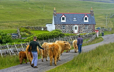 IBLGVA04340185 Highland Cattle (Bos taurus) or Kyloe, herd walking across the Scottish countryside with small farms or crofts, Assynt, Scotland, United Kingdom, Europe