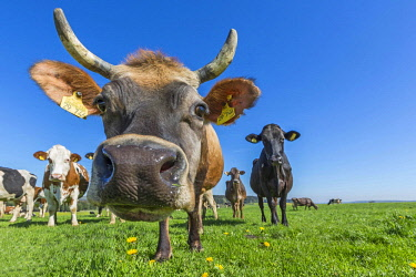 IBLKKL04371333 Allgau cows, brown cattle, on a pasture, looking at camera, Swabia, Bavaria, Germany, Europe