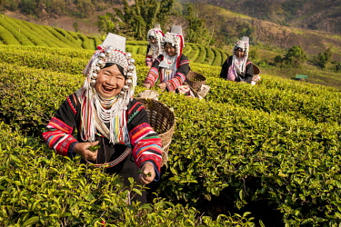 IBLKLJ04115427 Akha hill tribe women picking tea, Doi Mae Salong, North Thailand, Thailand, Asia