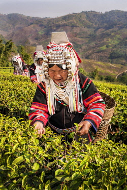 IBLKLJ04115429 Akha hill tribe women picking tea, Doi Mae Salong, North Thailand, Thailand, Asia