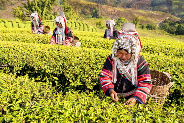 IBLKLJ04115431 Akha hill tribe women picking tea, Doi Mae Salong, North Thailand, Thailand, Asia
