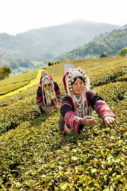 IBLKLJ04115433 Akha hill tribe women picking tea, Doi Mae Salong, North Thailand, Thailand, Asia