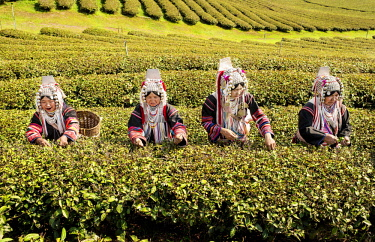 IBLKLJ04115435 Akha hill tribe women picking tea, Doi Mae Salong, North Thailand, Thailand, Asia