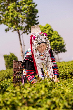 IBLKLJ04115442 Akha hill tribe woman picking tea, Doi Mae Salong, North Thailand, Thailand, Asia
