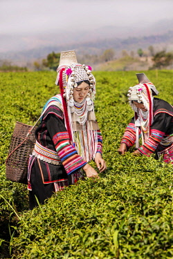 IBLKLJ04115443 Akha hill tribe women picking tea, Doi Mae Salong, North Thailand, Thailand, Asia