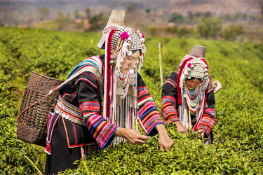 IBLKLJ04115444 Akha hill tribe women picking tea, Doi Mae Salong, North Thailand, Thailand, Asia