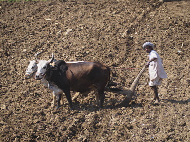 IBLKSC04605303 A farmer uses cattle and a plough made of wood for traditional agriculture on a field, Ranakpur, Rajasthan, India, Asia