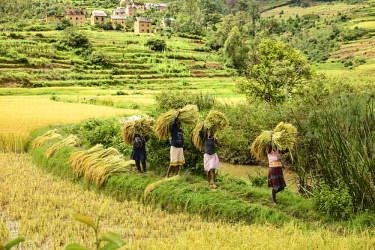 IBLMAV04449789 Rice farmers at harvest time, women carry bundles of rice, south of Ambositra, Madagascar, Africa