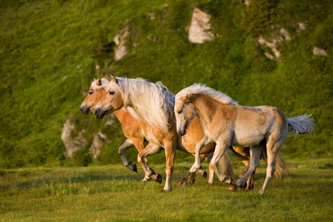 IBLPSA04330795 Haflinger horses on pasture, Sintersbach Hochalm pasture, sorrel, Kitzbuhel Alps, Tyrol, Austria, Europe