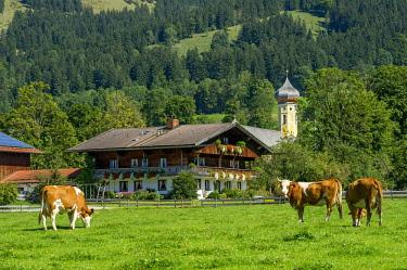 IBLRAI04381662 Cows on a pasture, cattle (Bos primigenius taurus), farmhouse and former monastery St. Martin, Martinsmunster, Fischbachau, Leitzachtal, Upper Bavaria, Bavaria, Germany, Europe