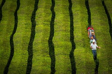 IBLSEI04644361 Workers at Cha� Gorreana tea plantation, near Sao Bra�s de Alportel, Sao Miguel, Azores, Portugal, Europe