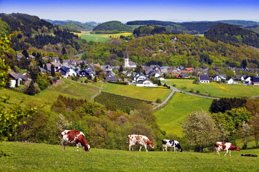 IBLSZI04228565 View of Düdinghausen district, city of Medebach, cows in front, Sauerland, North Rhine-Westphalia, Germany, Europe