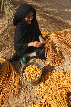 IBLTDR04330921 Woman picks off the harvested dates from the stalks, palmeries of Erfoud in the Tafilalt, Southeast Morocco, Marocco