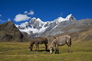IBLWGB04153230 Two grazing donkeys on a mountain meadow,the snow-capped mountains Jirishanca and Ninashanca behind, Cordillera Huayhuash mountain range, Andes, northern Peru, Peru, South America