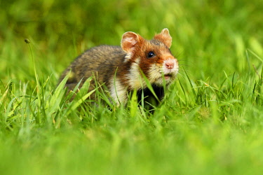 IBXSHU04404711 Young European hamster (Cricetus cricetus), in a meadow, Austria, Europe