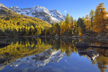 IBXSHU04450184 Lärchenwald, Larch Forest on Lake Lago di Saoseo, with Mount Scima da Rügiul, Val di Campo, Canton of Grisons, Switzerland, Europe