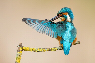 IBXWMA04348959 Male Kingfisher (Alcedo atthis) preening, Hesse, Germany, Europe