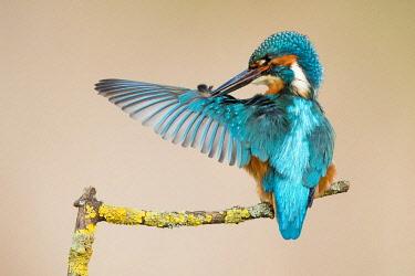 IBXWMA04348959 Male Kingfisher (Alcedo atthis) preening, Hesse, Germany, Europe
