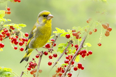 IBXREH04414085 Greenfinch (Chloris chloris) sits on red currant bush, Tyrol, Austria, Europe