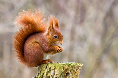 Eurasian red squirrel (Sciurus vulgaris) with hazelnut, sitting on tree stump, Biosphere Reserve Swabian Alb, Baden-Wurttemberg, Germany, Europe