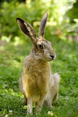 IBXKRA04413928 Hare (Lepus europaeus), Lower Austria, Austria, Europe