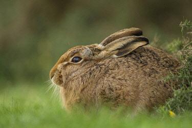 IBXKSA04318770 European Hare or Brown Hare (Lepus europaeus), on a meadow, Suffolk, United Kingdom, Europe