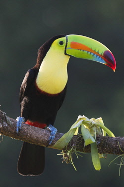 Keel-billed Toucan (Ramphastus sulfuratos) perched on a branch, Heredia Province, Costa Rica, Central America
