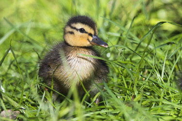 IBXENH04518219 Mallard (Anas platyrhynchos), chick in grass, Emsland, Lower Saxony, Germany, Europe