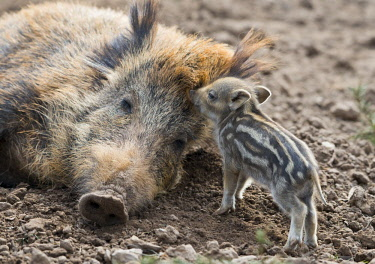 IBXFSO04485217 Wild boar (Sus scrofa), dormant sow and piglet, captive, Germany, Europe