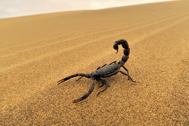 IBXFVP04353781 Black scorpion (Parabuthus villosus) running on sand, Namib Desert in Swakopmund, Namibia, Africa