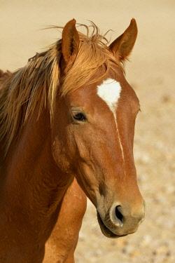 IBXFVP04378214 Desert Horse (Equus ferus) near waterhole Garub, near Aus, Karas Region, Namibia, Africa