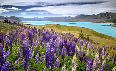IBXGZS04323673 Lupines (Lupinus) in front of turquoise Lake Tekapo, Tekapo, Twizel, Canterbury Region, South Island, New Zealand, Oceania
