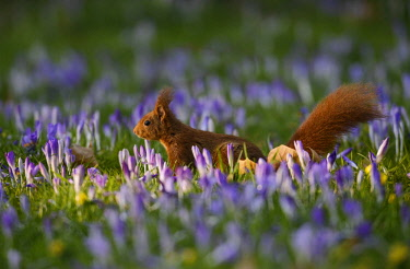 IBXAKE04349445 Squirrel (Sciurus vulgaris) on a crocus field, Spring, Germany, Europe